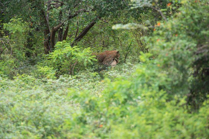Het luipaard loopt met z'n prooi tussen de struiken. Niet de beste wildlife fotografie, want hier dier staat er niet geweldig op.
