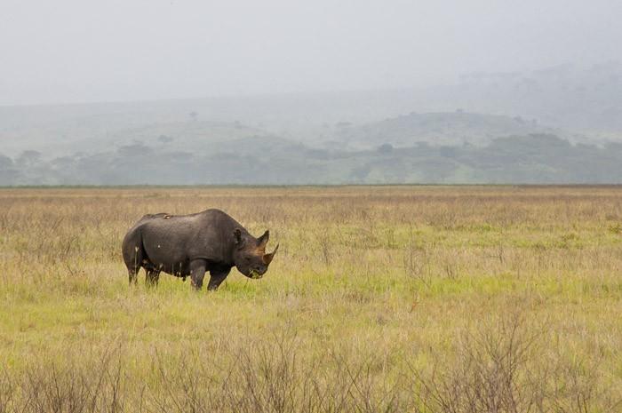 Neushoorn in Tanzania