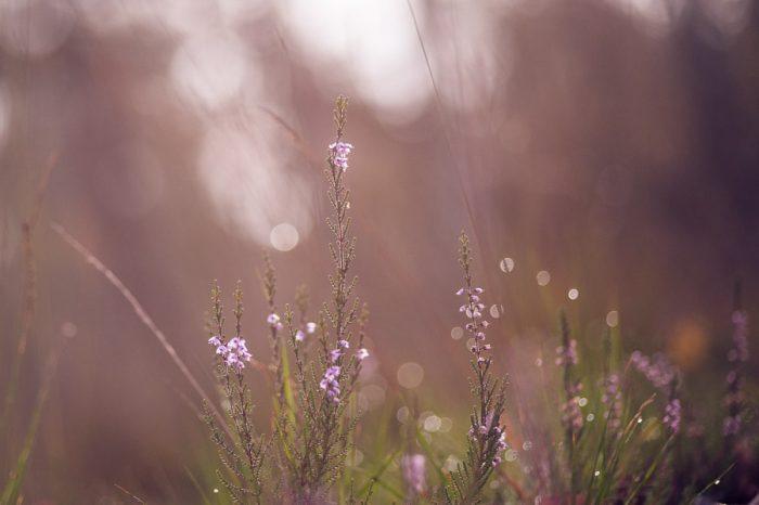 Laatste paarse bloempjes van de heide in oktober