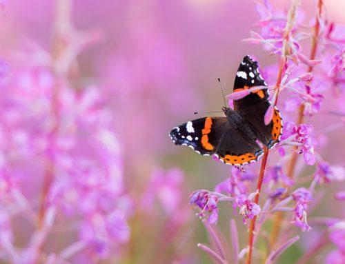 Tips voor vlinders fotograferen