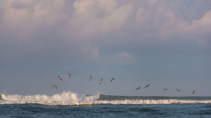 Deze pelikanen 'surfden' gracieus over de golven. (Costa Rica)