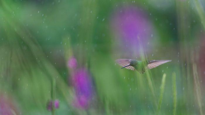 Kolibrie in de regen