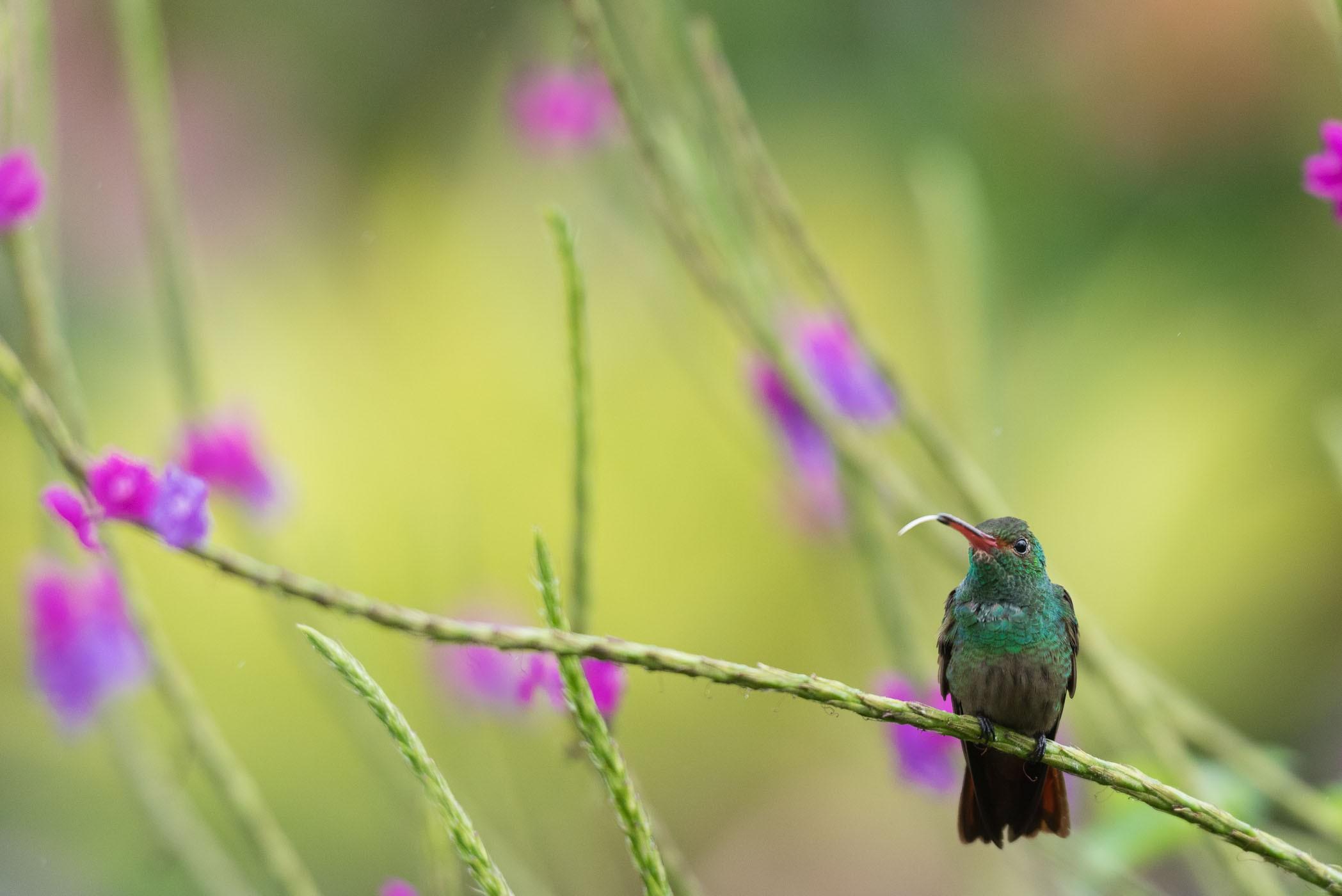 De kolibrie steekt zijn tong uit, hihi!