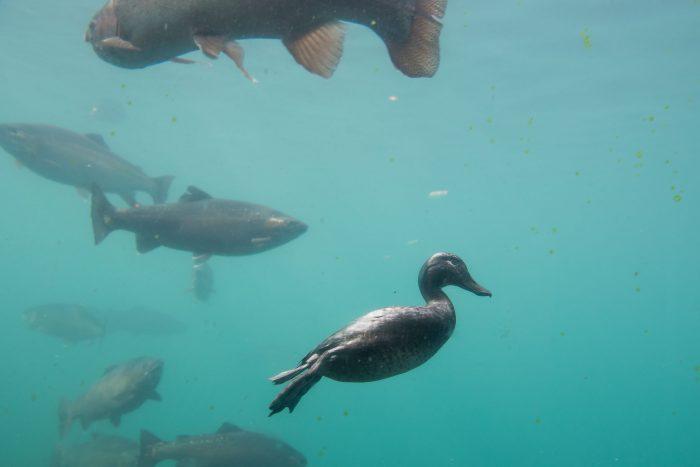Vogel onderwater fotograferen