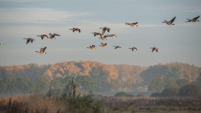 Voorbijvliegende ganzen
