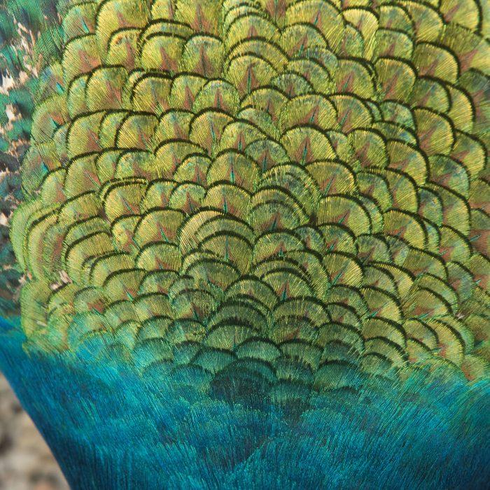 De nek van een pauw