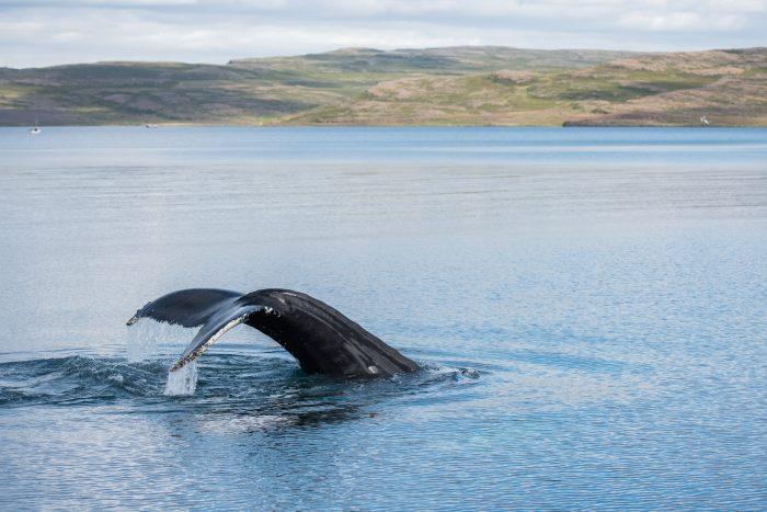 Deze walvis maakt een diepe duik! Het kan dan wel 20 minuten duren voordat-ie weer bovenkomt.
