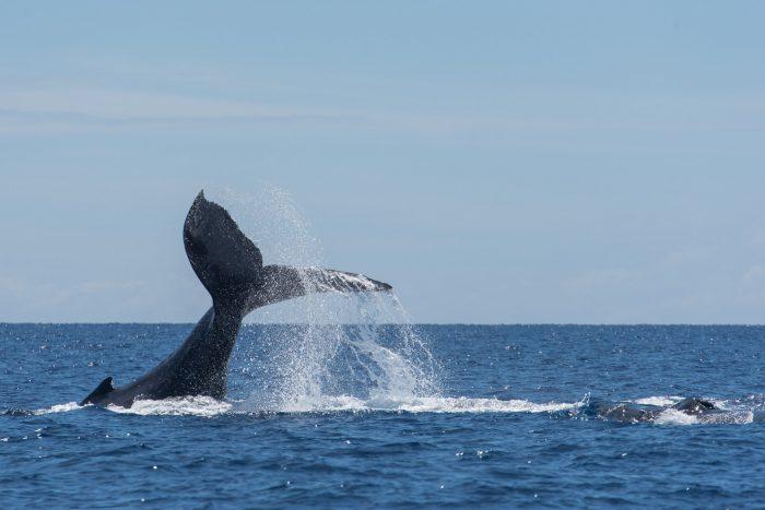Een mama-walvis slaat agressief met haar staart op het water (wel 20x) om een mannetjeswalvis te laten weten dat hij weg moet gaan bij haar en haar jong (rechts nog net in beeld)