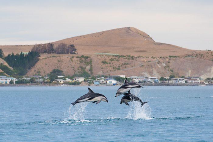 Deze donkergestreepte dolfijnen (dusky dolphins) werken samen om vissen te vangen. Dat ziet er natuurlijk extra spectaculair uit!