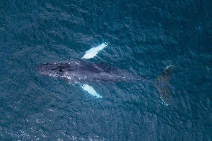 Een uniek standpunt: een walvis gefotografeerd met een drone.