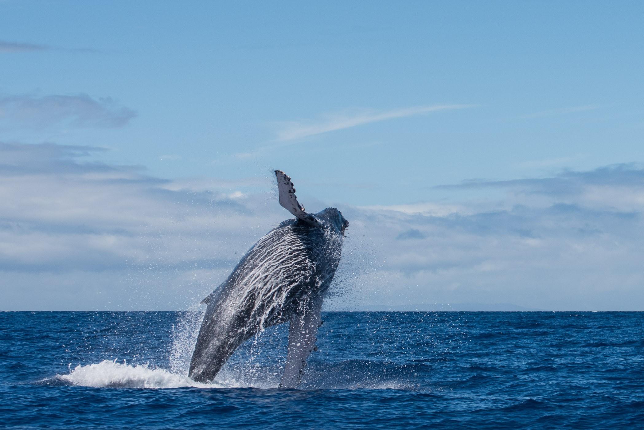 Wist je dat je een walvis kunt ruiken na een breach? Door de enorme klap op het water verliest het dier de parasieten op z'n huid. Je ziet dan stukje in het water drijven en die ruik je. :)