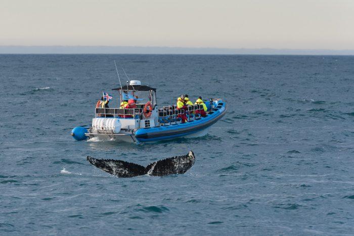 Het grote voordeel van een kleinere boot is dat je sneller en dichter bij de walvissen komt.