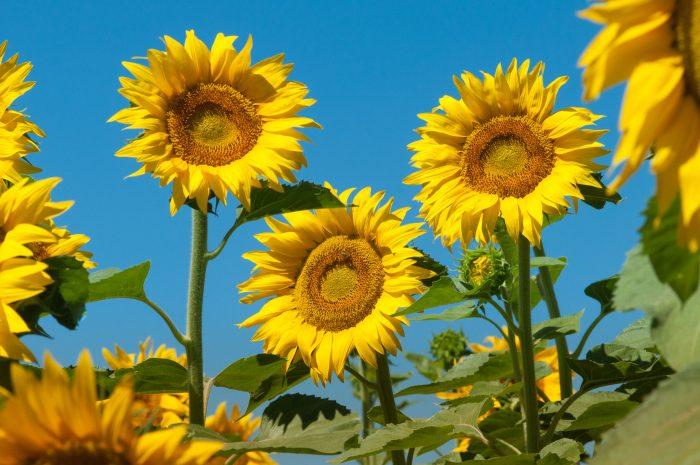 Het geel van de zonnebloemen steekt mooi af tegen de blauwe lucht