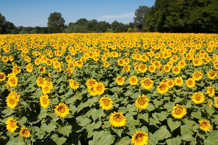 Zonnebloemen in de middag gefotografeerd: de foto oogt plat